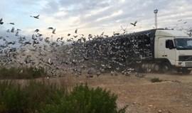 Columbofilia: Pombos portugueses brilham nos céus