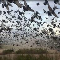 Columbofilia: 'maratona' europeia com 50 mil pombos