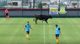 Vaca interrompe jogo particular na Bulgária
