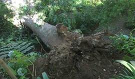 Madeira: MP veda local onde caiu árvore e interrompe peritagens da autarquia