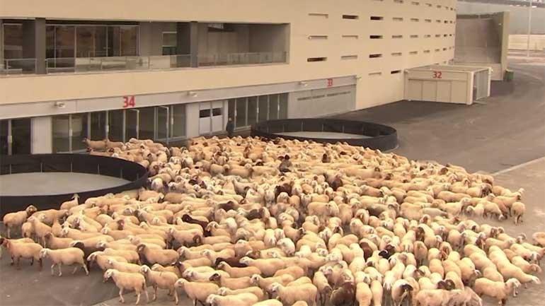 O que fazem estas ovelhas... à porta do estádio do At. Madrid?